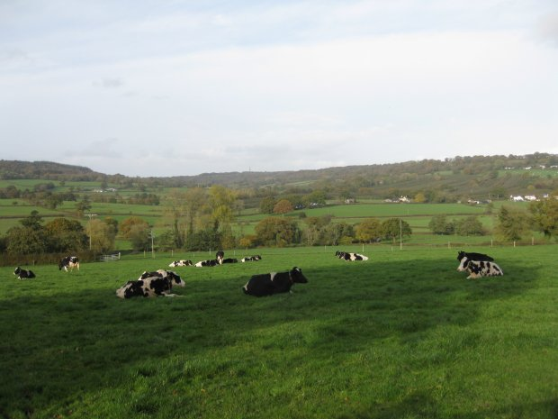 Cows by the Culmstock Road