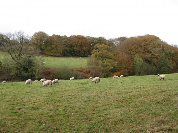 Sheep at Lickham